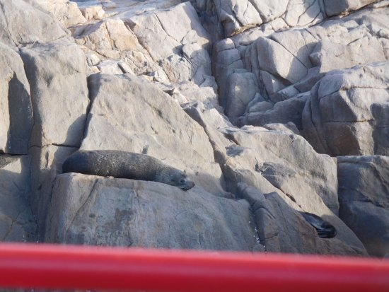 Nelson Bay, Australien: seals