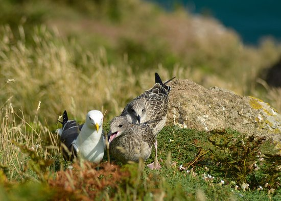 Skomer Island, UK: Hungry!!