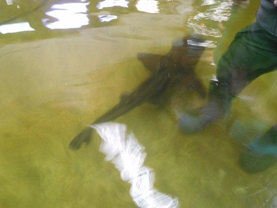 Port Stephens, أستراليا: feeding the shark