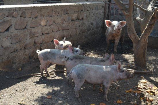 Lalla Takerkoust, Morocco: Cochons