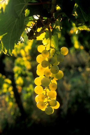 Visnjan, Croatia: Our grapes