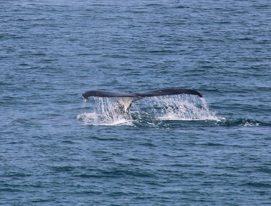 Cleveland, Australia: One of the many whales not far off the headlands at Point Lookout