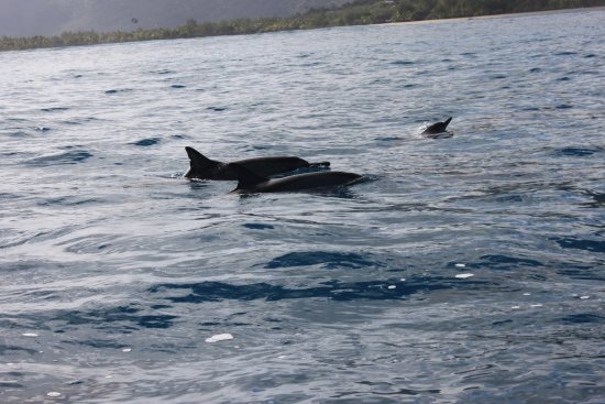 Grande Riviere Noire: More Spinner Dolphins