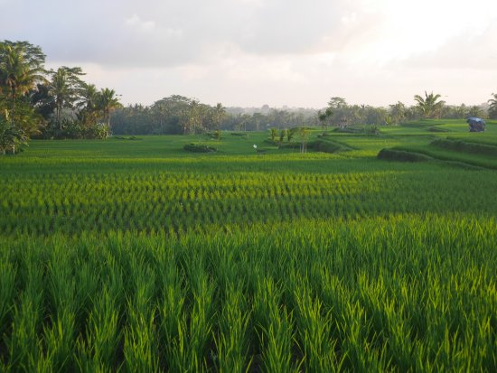 Bali Countryside Cycling Tour: one of the paddy fields