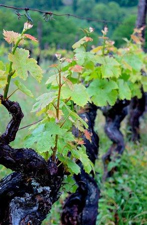 Saussignac, Francia: Vines