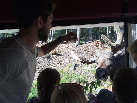 Markaryd, Sverige: A young bull comes to feed