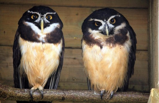 Farnham, UK: Spectacled Owls at Birdworld