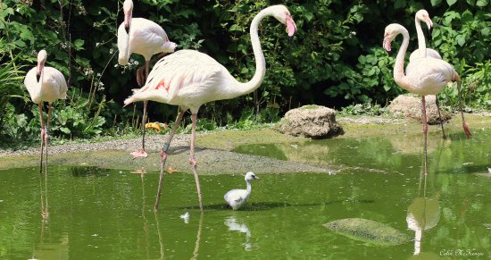 Farnham, UK: Flamingo Chicks at Birdworld