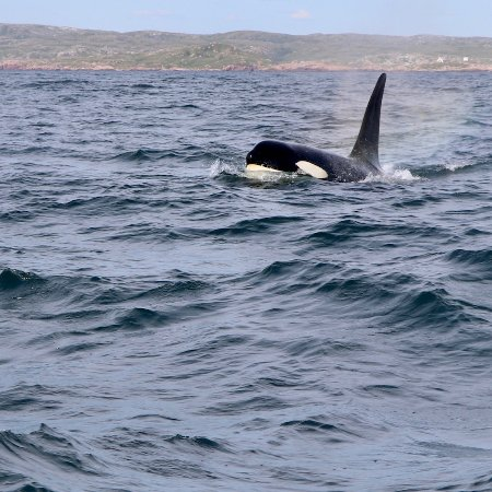 Port aux Basques, Canadá: Our sea is full of surprises. Whales, dolphins, sharks and tuna are sometimes spotted on our tou