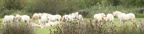 Les Marais du Vigueirat : Troupeau de chevaux Camargue