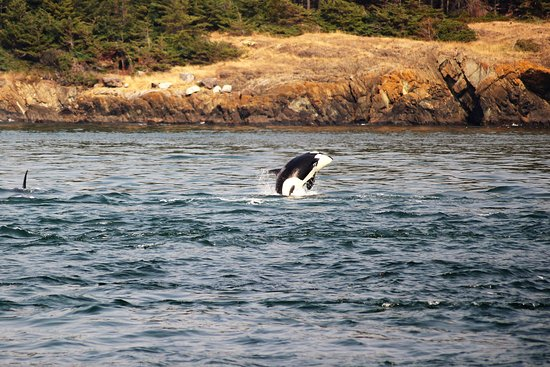 Anacortes, WA: One of many of the orca whales that we saw