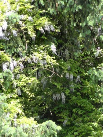 Skamokawa, WA: Wisteria in Tree