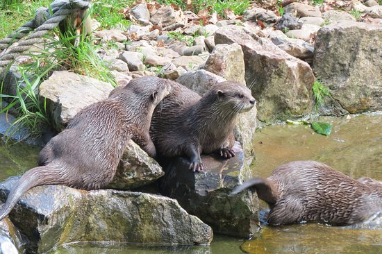 Ottery St. Mary, UK: otters
