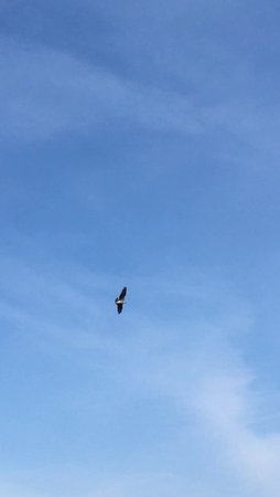 Scotch Creek, Canada: A soaring eagle did several fly-bys - with a fish!