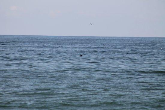Fire Island, NY: dolphins