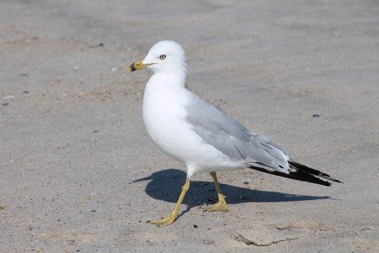 Fire Island, NY: seagull