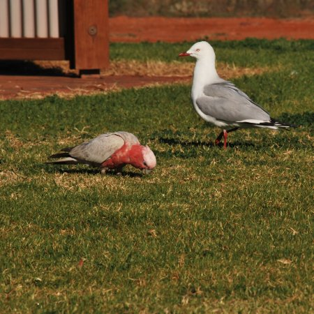 Whyalla, Australia: Galah and seagull near the toilet block