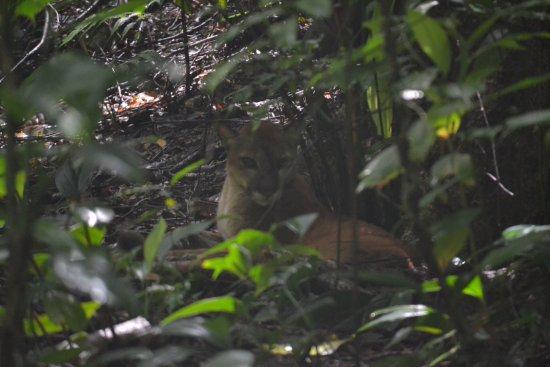 Puerto Jimenez, Kosta Rika: Puma