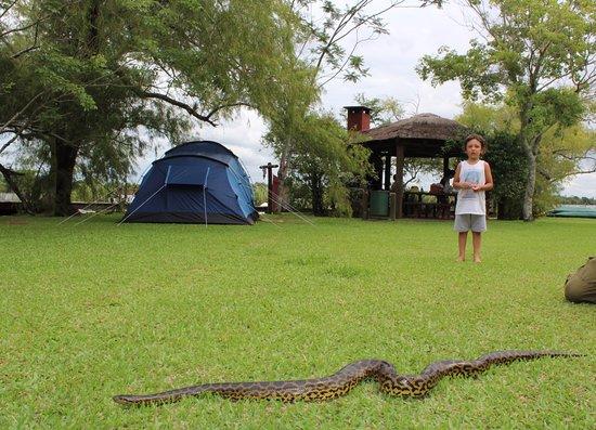 Carlos Pellegrini, Argentina: Una Curiyú cruzó el camping