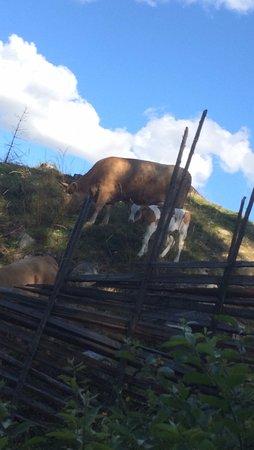 Maihaugen Open-Air Museum : Cows at Maihaugen