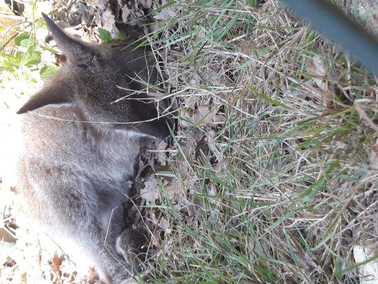 Le Blanc, فرنسا: Bébé wallaby