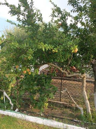 Pastida, Yunani: Pomegranates ripening