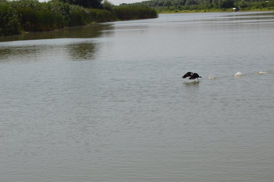 Danube Delta: Cormorán en el Delta