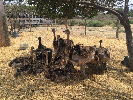 Buellton, Καλιφόρνια: Emus