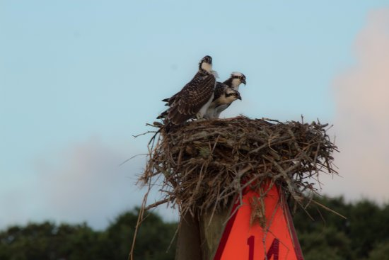Surf City, Carolina del Norte: Ospreys