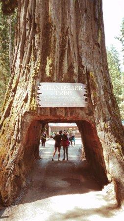 Leggett, Californië: Chandelier tree