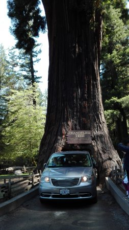 Leggett, Καλιφόρνια: Chandelier tree