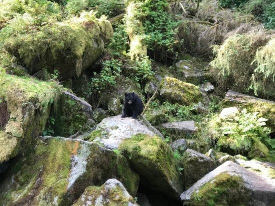 Wrangell, AK: Anan bear looking for dinner