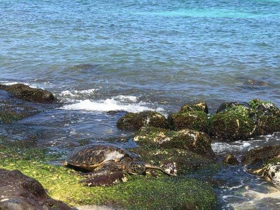 Rental Car Turtle Bay Resort