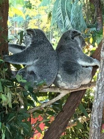 Australia Zoo: Up close with Koalas