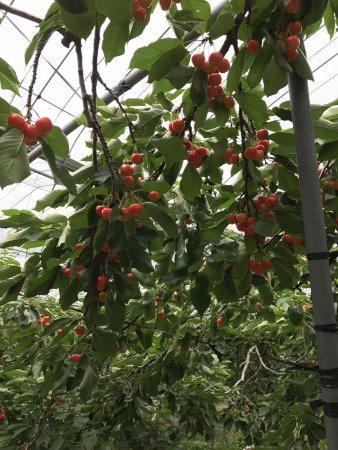 Ohashi Cherry Farm