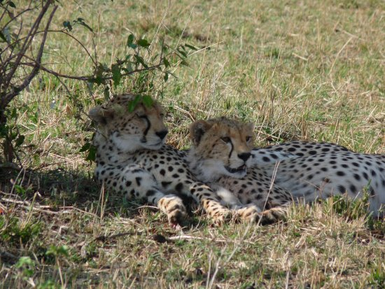Olderkesi Private Reserve, Kenia: Cheetah - we were so close to them!