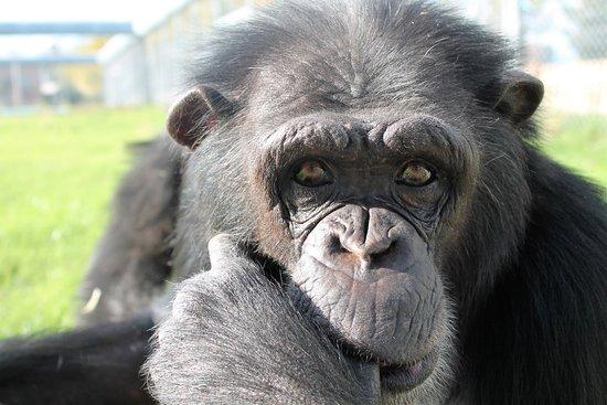 Alcobendas, Spanyol: Manuela, una de las chimpancés rescatadas de la explotación audiovisual