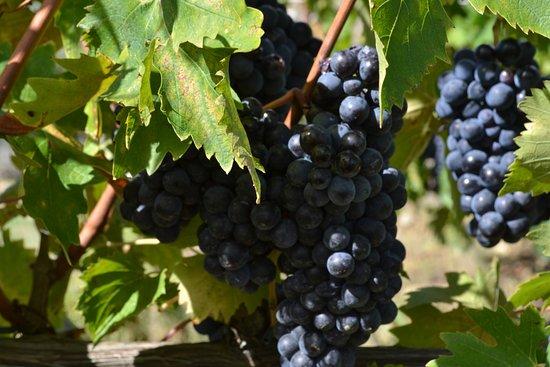 Noventa Padovana, Italia: Brunello di Montalcino grapes ready for harvest