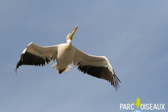 Villars-les-Dombes, Frankrike: Pélican du spectacle d'oiseaux en vol