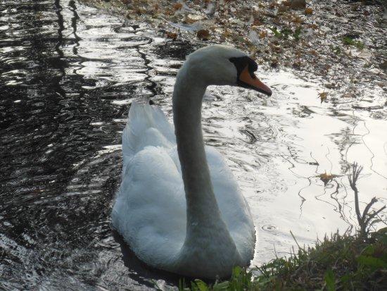 Campello sul Clitunno, Italia: swan