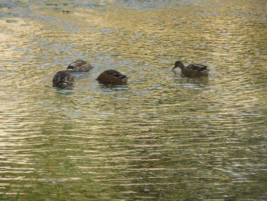 Campello sul Clitunno, Italia: ducks