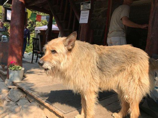 Plain of Six Glaciers Tea House: Resident Puppy