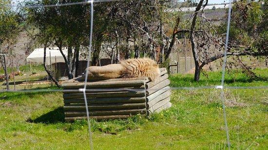 Westkap, Südafrika: Molti leoni finalmente possono riposare grazie a questa organizzazione che li ospita