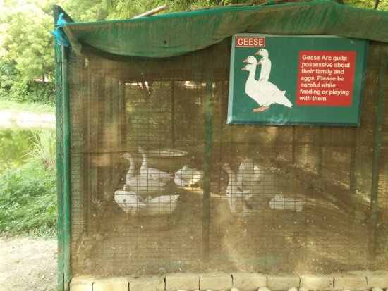 Trident, Agra: Geese