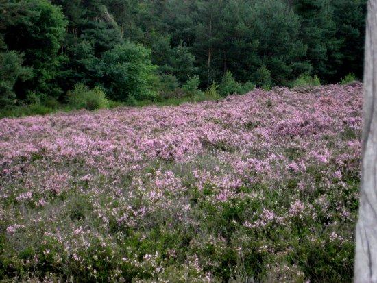 Mehlinger Heide: Blühende Heide