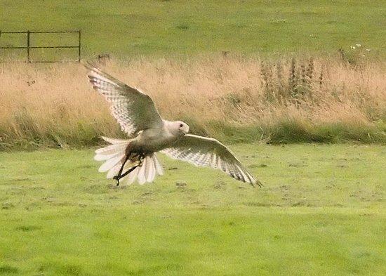 Penrith, UK: Gyrfalcon in flight
