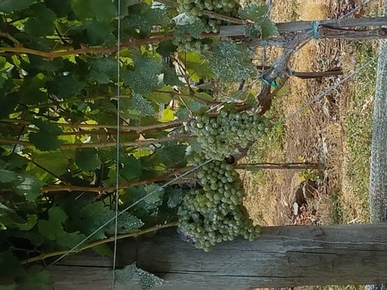 Marchesi Vineyards: 20170814_142341_large.jpg