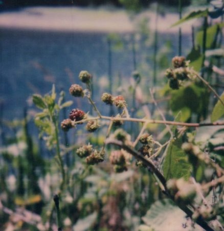Alfred A Loeb State Park: Blackberries ripening