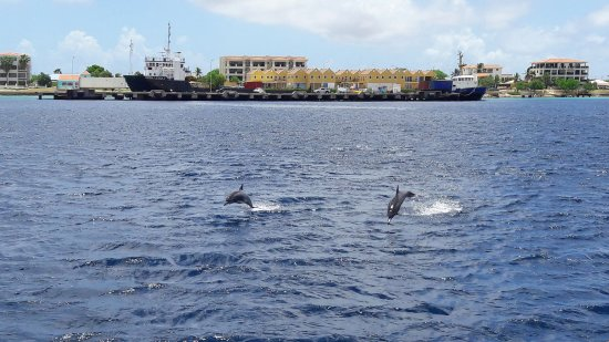 Kralendijk, بونير: Dolphins during a private tour with the Catamaran Mushi Mushi