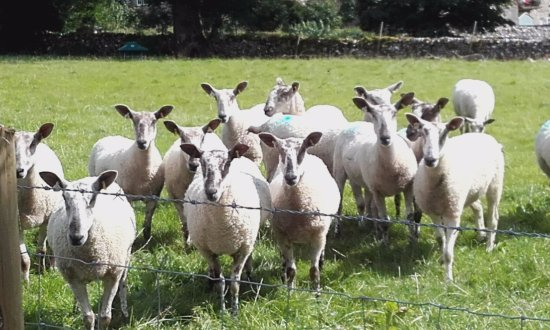 Buckden, UK: Friendly sheep in the adjoining field :)